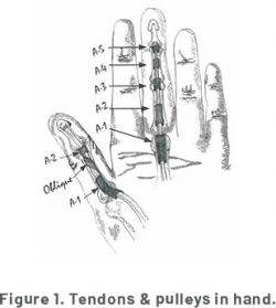 A diagram of the Tendons and Pulleys in a Hand